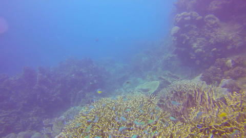 many small colorful blue fish swim above the coral Footage