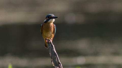 Kingfisher Stock Video Footage