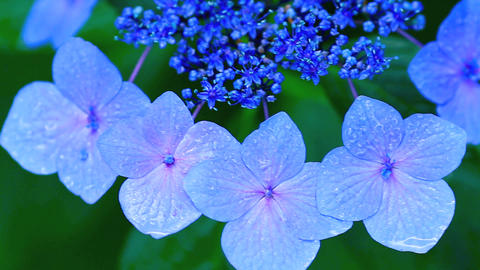 Flower of hydrangea with drops of rain Footage