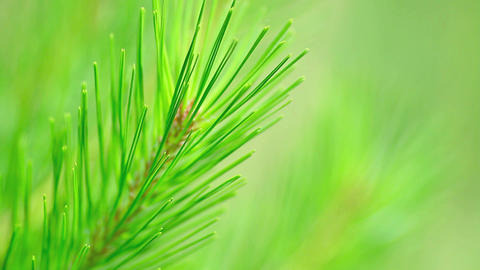 Pine Branch stock footage