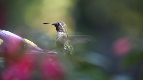 hummingbird feeding Footage