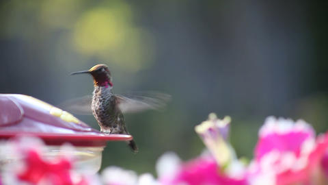 hummingbird at feeder with flowers Stock Video Footage