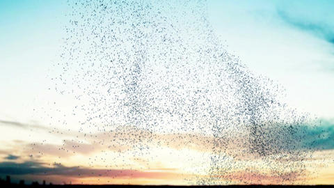 Flock of birds at sunset Stock Video Footage