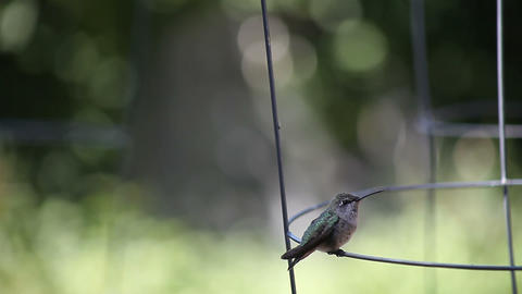 hummingbird scratches Stock Video Footage