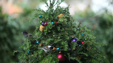 Birds Compete On Christmas Tree stock footage
