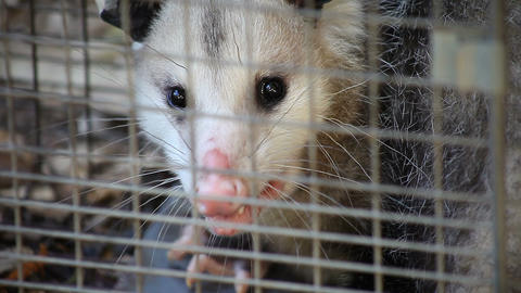 Possum In A Trap stock footage