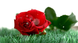 Red rose falling on a green ground Footage