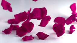 Rose petals falling down Footage