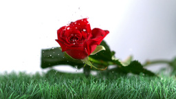 Rose falling and boucing on a green ground Footage