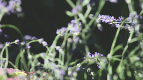 hummingbird in the lavender Stock Video Footage