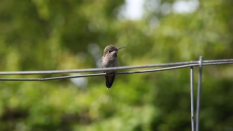 hummingbird courtship behavior Stock Video Footage