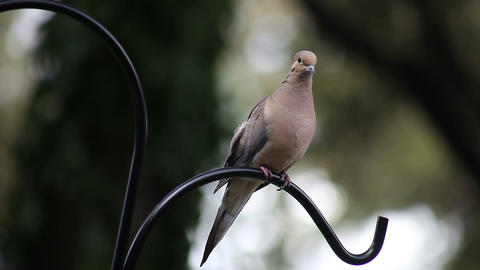 mourning dove Stock Video Footage