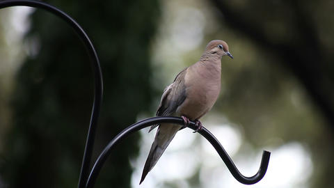 mourning dove Footage