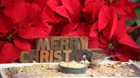 merry christmas bird Footage
