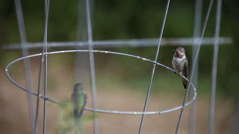 hummingbird courting Stock Video Footage
