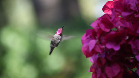 ruby throated hummingbird at bougainvillea Stock Video Footage