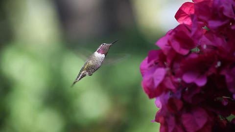 ruby throated hummingbird at bougainvillea Footage