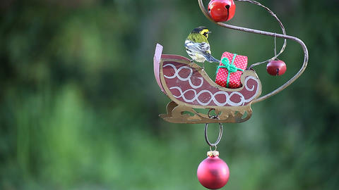yellow bird in Christmas setting Stock Video Footage