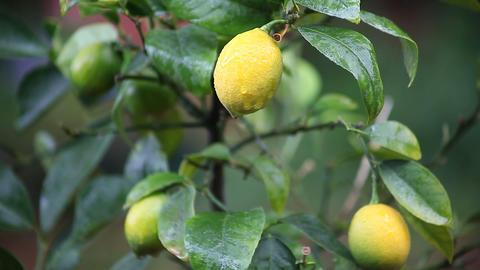 lemon tree in the rain Footage