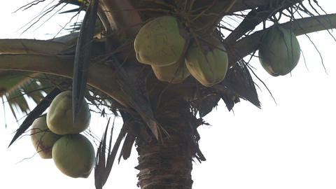coconuts hanging on a palm tree Footage