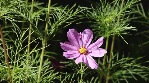 Single Pink Cosmos stock footage