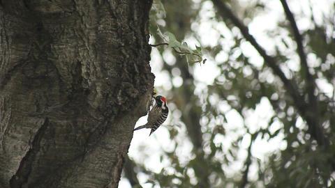 woodpecker in oak tree Footage