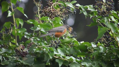 robin eating Footage