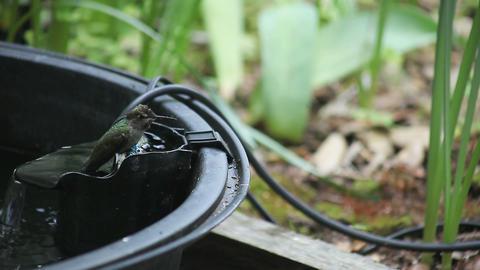 hummingbird bathing Footage