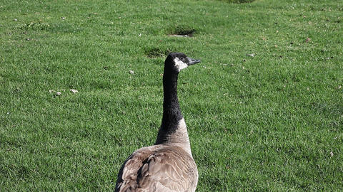 goose responding to call Stock Video Footage