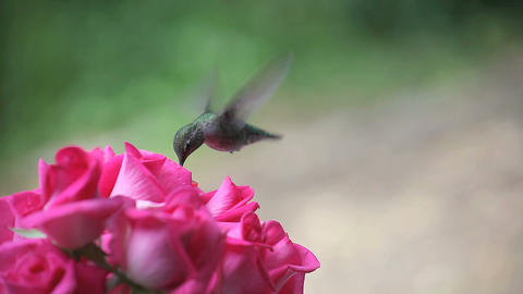 hummingbird in the roses Footage