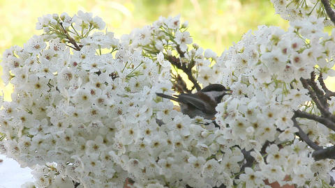songbird in spring blossoms Stock Video Footage