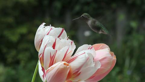 hummingbird in tulips Footage