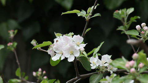 two bees on apple blossoms Footage