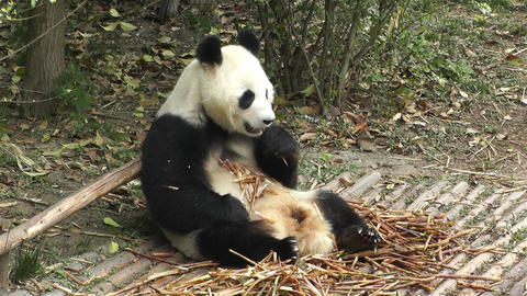 Panda in Chengdu Sichuan China 1 handheld Footage
