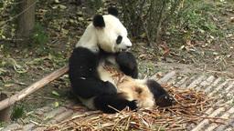 Panda in Chengdu Sichuan China 1 handheld Stock Video Footage