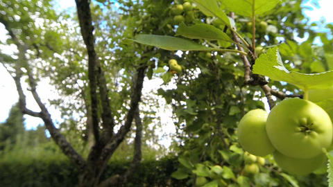 Green apples hanging on a tree in garden Stock Video Footage