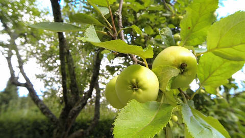 Green Apples Hanging On A Tree In Garden stock footage