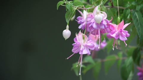 lavender fuchsia with copy space Footage