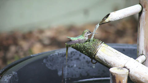 hummingbird bathes on a bamboo fountain Stock Video Footage