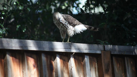 young hawk Footage