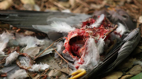 Pigeon Killed By A Hawk stock footage