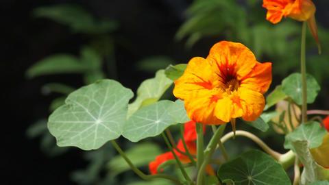 nasturtium flowers Stock Video Footage