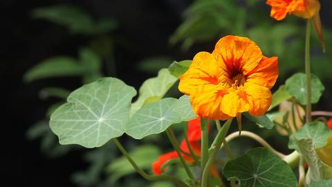 nasturtium flowers Footage