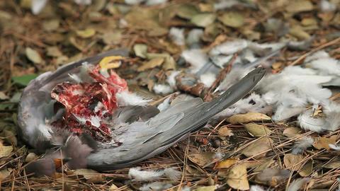 hawk killed pigeon close up Footage