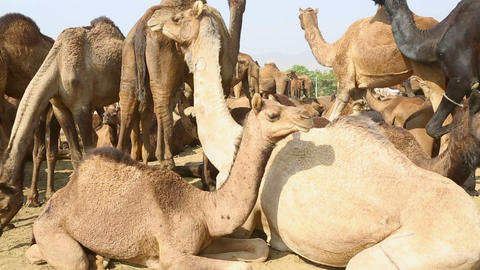 Camels Footage