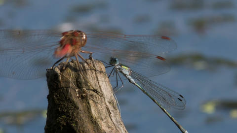 Two dragonflies Footage