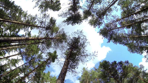 Tall Lodgepole Pine Pinus Sylvestris In The Surrou stock footage