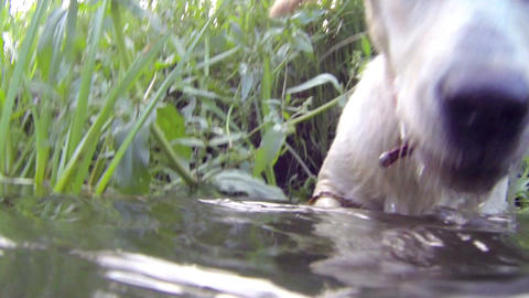 Dog sub-merged on water playing drinking water on Stock Video Footage