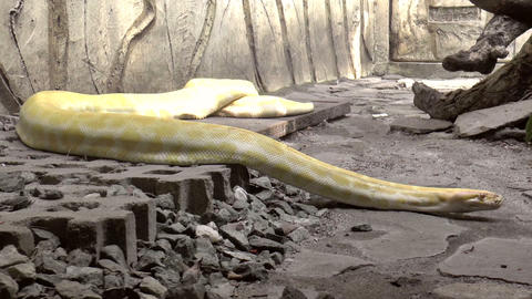 albino snake Footage