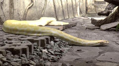 albino snake Stock Video Footage